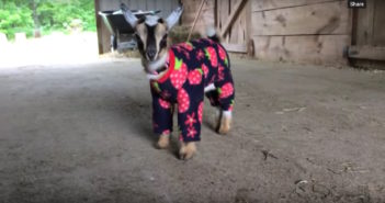 A baby goat standing in barn wearing infant pajamas with strawberries or raspberries on it. It's hard to tell.