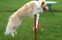 blonde border collie jumping over bar