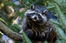 Raccoon in pine tree sticking out it's tounge