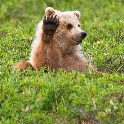 Very calm bear in field with paw raised as if to block the camera.