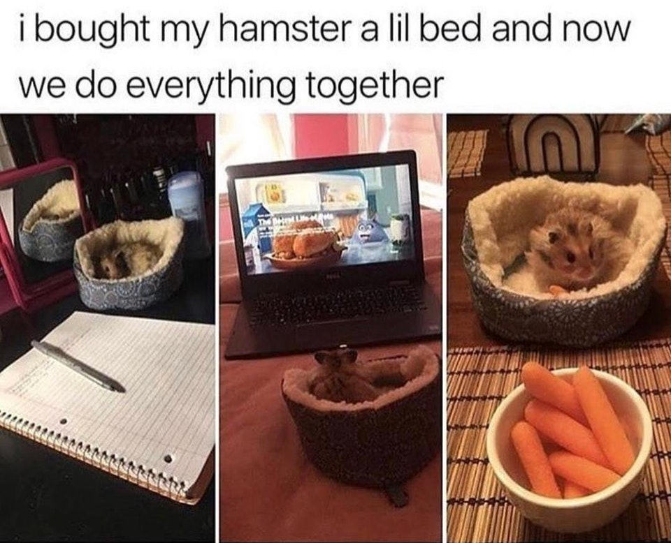 pictures of a hamster in a tiny dog bed