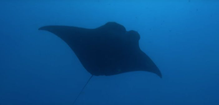 stingray photographed from below silhouetted against a blue sea.