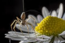 A spider about to take flight, just barely still touch the petal of a daisy