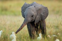 Baby Elephant with egrets in a grassy field