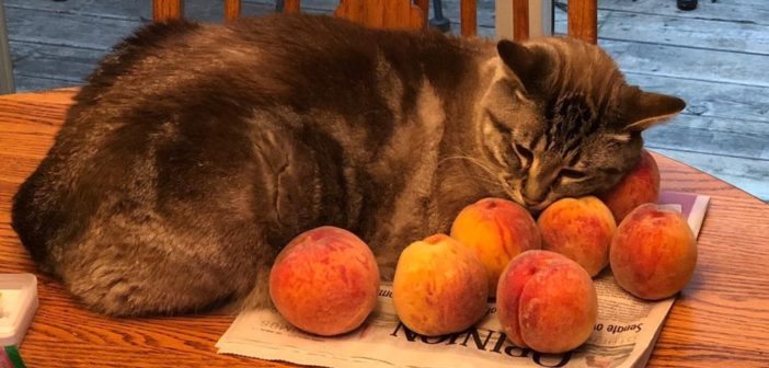 a cat, snuggled in with a cluster of peaches on a wooden table