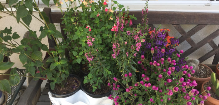 a selection of plants in in pinks purples and peaches sitting in pots on a weathered wooden bench under a window