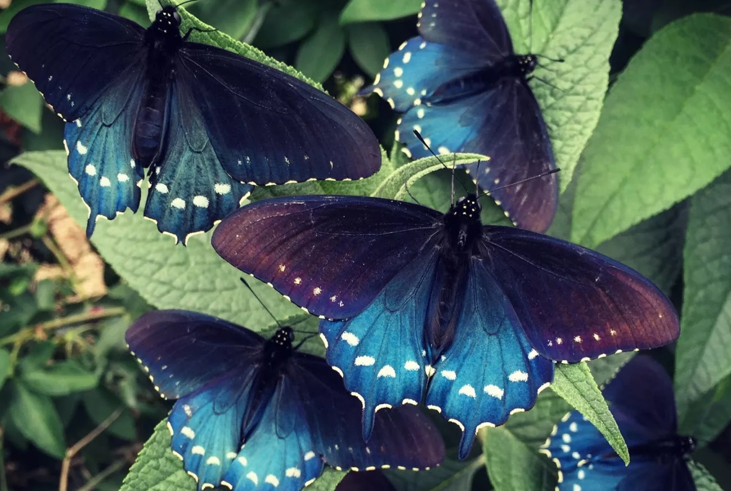 purple black and blue butterflies with white spots on vibrant green leaves