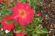 Bright pink rose on a bush with other roses in the back ground.